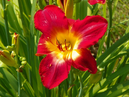 Scarlet Pansy July 17/ 12