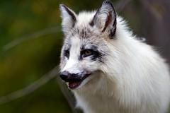 arctic fox, animal, dog, fauna, close-up, carnivoran, wildlife,