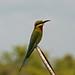 Chestnut-headed Bee-eater (David Allison)