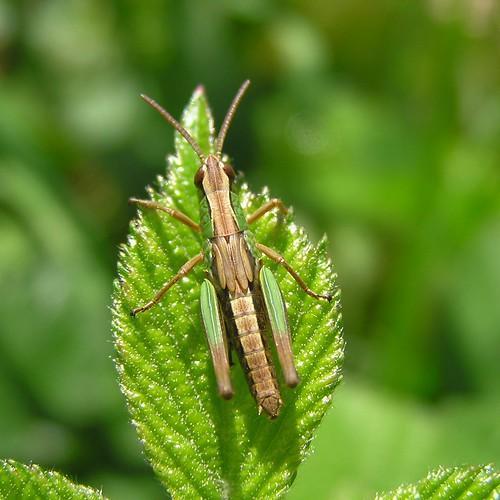 Chorthippus parallelus - Criquet des pâtures - Meadow grasshopper - 22/06/12