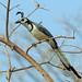 White-throated Magpie-Jay, Tehuantepec, Oaxaca, Mexico por Terathopius