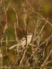 Sind Sparrow (Passer pyrrhonotus)