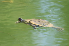 False Map Turtle (exotic species in MD)