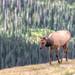 Grazing Elk cow at RMNP by cindytaylor