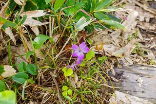 ハクサンフウロの残り花