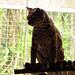 Beautiful margay at the Jaguar Rescue Centre. Puerto Viejo, Costa Rica 25APR12