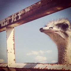Ostrich, Ostrich Land, Eyeballing Me, drollgirl