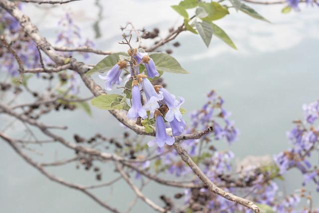empress tree, gowanus