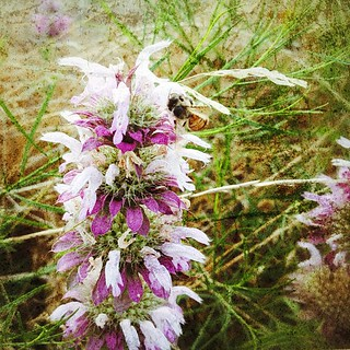 Lemon Beebalm #texaswildfowers #igtexas #flowers #grunge #texture #snapseed #purple #iphonetx