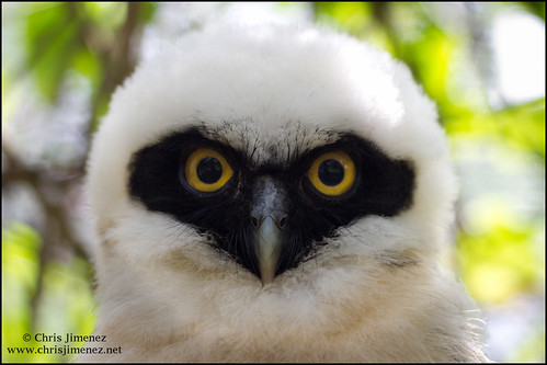 Spectacle Owlet (HELP!)