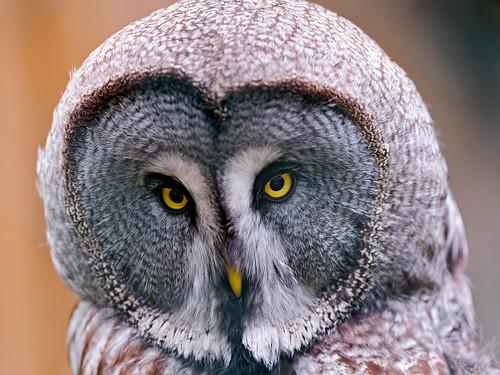 無料写真素材|動物|フクロウ|カラフトフクロウ