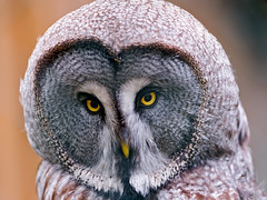 [Free Images] Animals 2, Owls, Great Grey Owl ID:201205240400