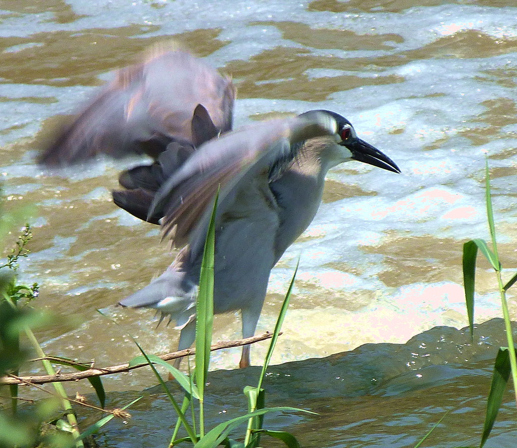 19-05-2012-mr-night-heron-showing-off