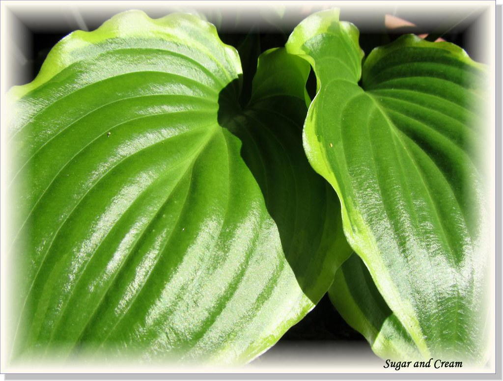 Hostas Only 1 (16)