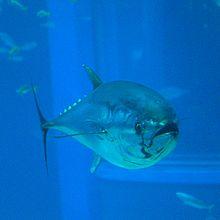 Pacific Bluefin Tuna