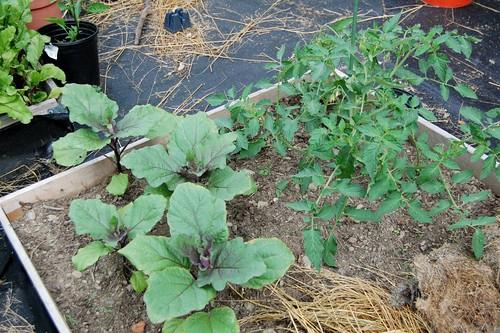 eggplant & tomato plants