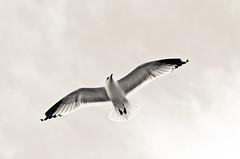 Fjord sea gull