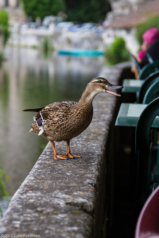 Hungry Ducks of Brantome
