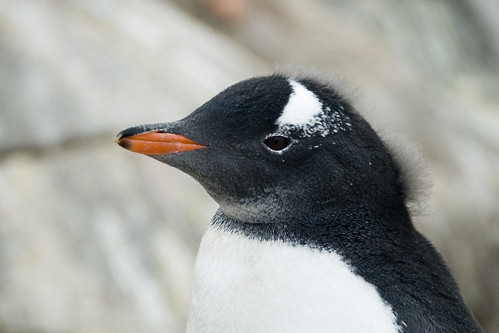 Punky Gentoo Penguin by Veerle L