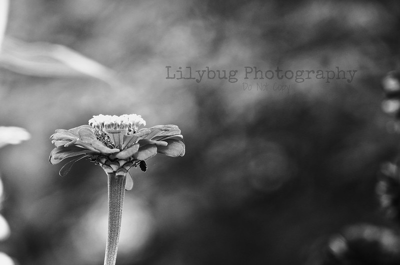Lovely Flower (B&W)
