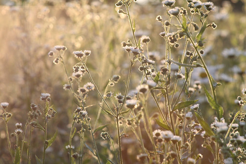 light sunset summer usa nature canon weeds indiana 365
