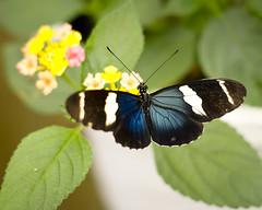 FA 50/1.4 : Butterflies III