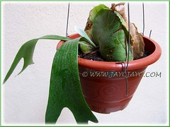 Successful propagation of a Staghorn Fern (Platycerium bifurcatum) with a new emerging fertile frond, 6cm long - July 1 2012