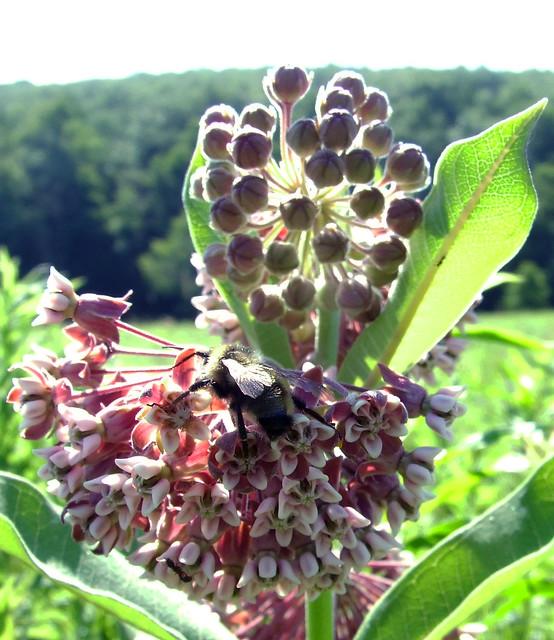 common milkweed with native bee