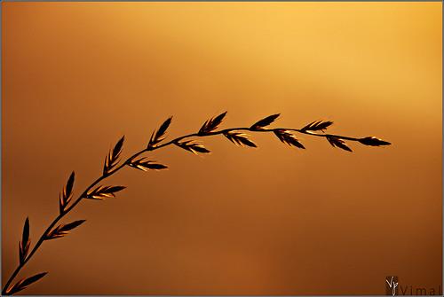 grass silhouette sunrise plano rimlight canon55250 rebelt1i vimalvp