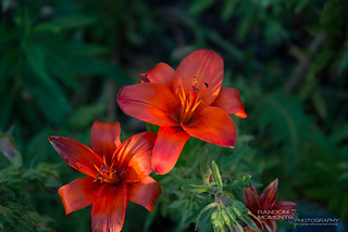 Sun Catching Lilies: Floral Shoot 04Jul12-033.jpg