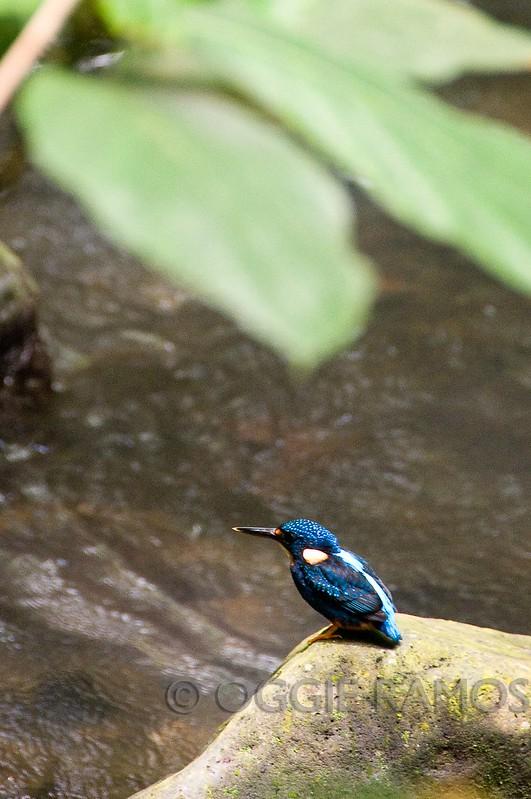 Villa Escudero Indigo Banded Kingfisher