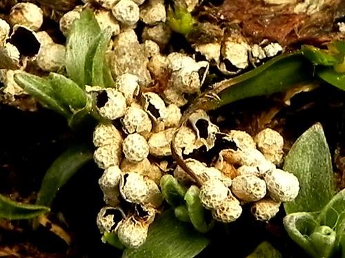 Myxomycètes nivicoles