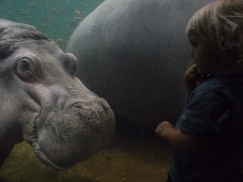 hello, hippo