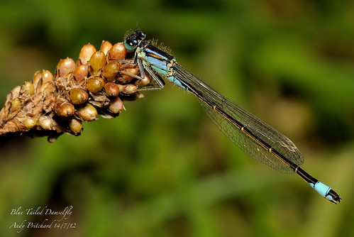 BlueTailDamsel_6253 by Andy Pritchard - Barrowford
