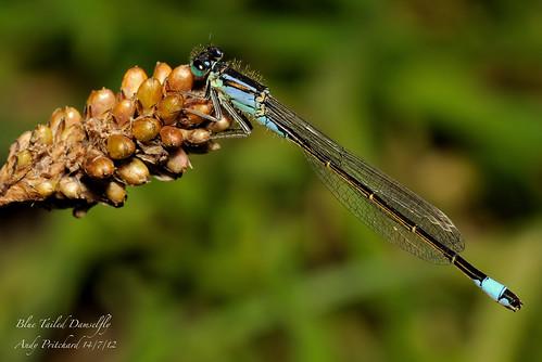 BlueTailDamsel_6253 by Andy Pritchard - Barrowford