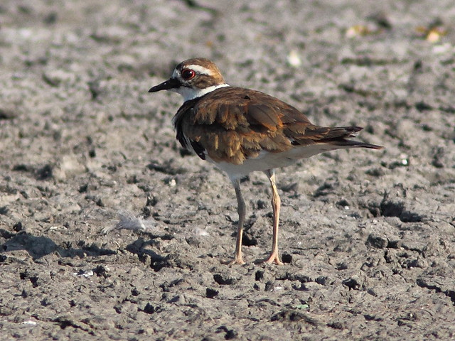 Killdeer 20120717