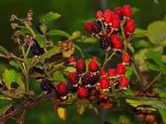 blackberry, berry, branch, red mulberry, plant, wine raspberry, flora, produce, fruit, food,