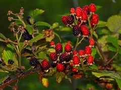 evergreen(0.0), shrub(0.0), flower(0.0), crataegus pinnatifida(0.0), rowan(0.0), hawthorn(0.0), blackberry(1.0), berry(1.0), branch(1.0), red mulberry(1.0), plant(1.0), wine raspberry(1.0), flora(1.0), produce(1.0), fruit(1.0), food(1.0),