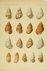 clam(0.0), invertebrate(0.0), conch(1.0), animal(1.0), sea snail(1.0), seashell(1.0), conch(1.0),