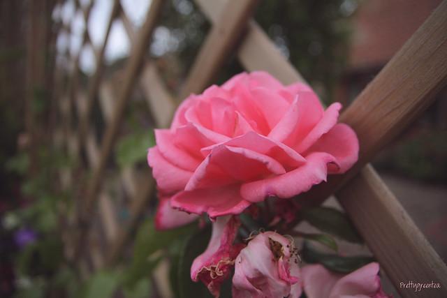 rose prettygreentea