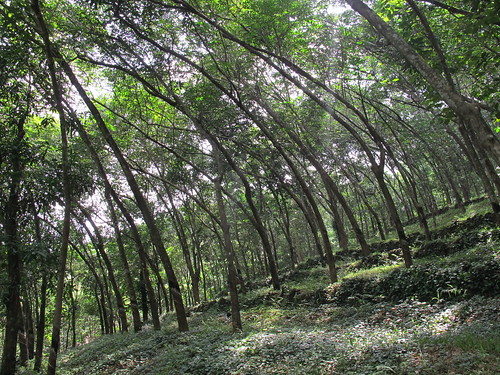 Rubber Trees in the Forest