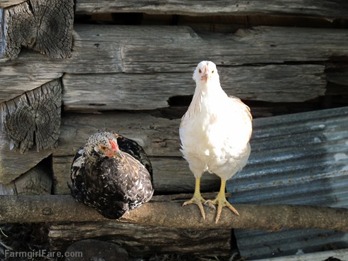 (19-10) Even the youngest batch of chicks is looking all grown up - FarmgirlFare.com