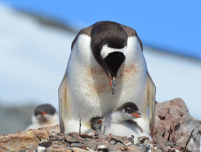 newly hatched gentoo