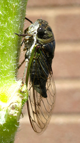 newly-hatched cicada by scruss