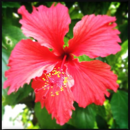 Flor de maga - Puerto Rico's national flower