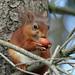 0K4A4702_2   Red Squirrel