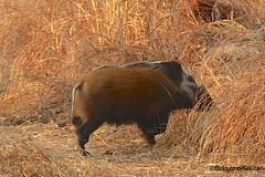 Red river hog - a rare animal, Liwonde NP, Malawi