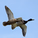 Mallards in flight by Rich_Wren