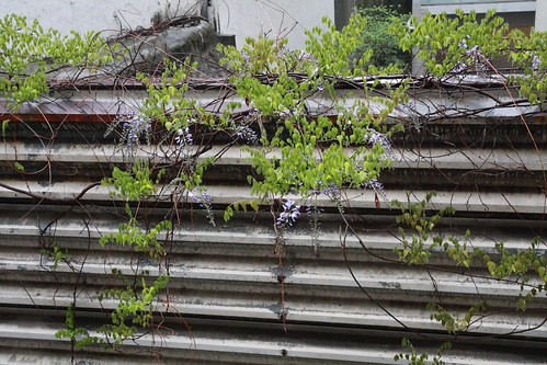 ベランダから見える藤の花、今年は寂しい