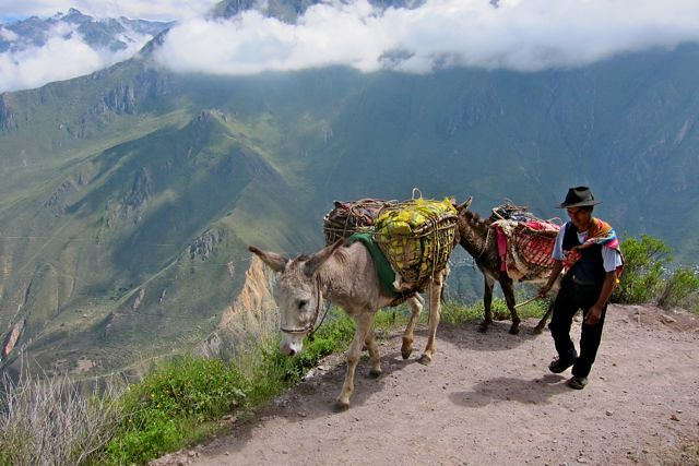 Colca Canyon Camel for Hire